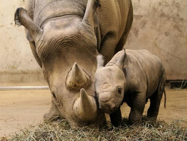 Black Rhinoceros Mama and Baby