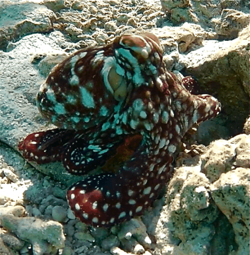 Octopus at Ruahatu Lagoon Sanctuary, Bora Bora