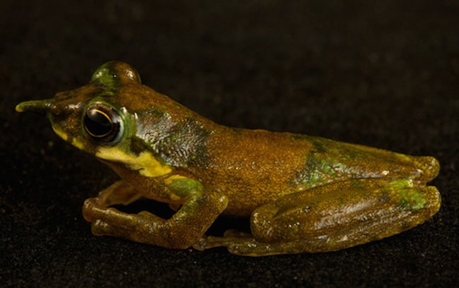 Weird animals, Pinocchio Frog