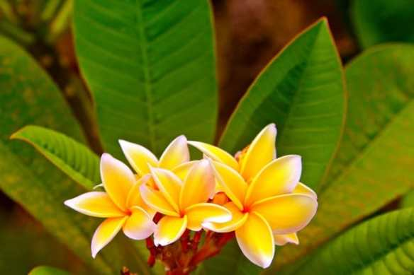 The Plumeria flower, used to make Leis in Tahiti.