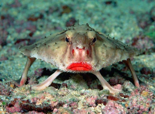Red-Lipped Batfish, photographed by Rein Ketelaars via Creative Commons