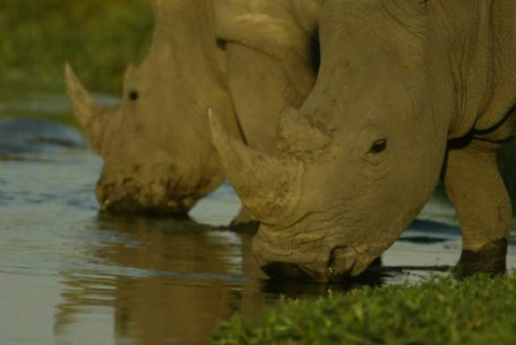 Rhinos Without Borders photo by Beverly Joubert