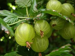 gooseberry-bush.jpg