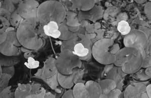 Photo by Dave Brenner/Michigan Sea GrantEuropean Frogbit