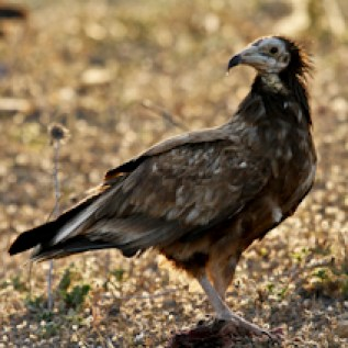 Alimoche - Egyptian Vulture