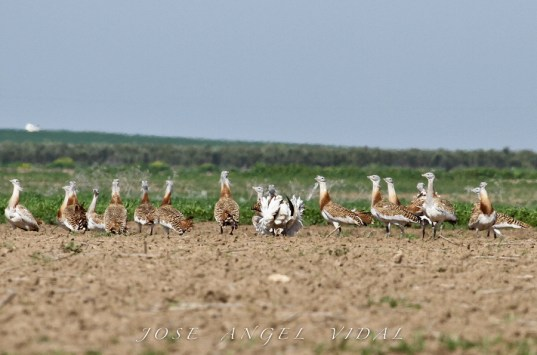 Avutardas - greater bustard