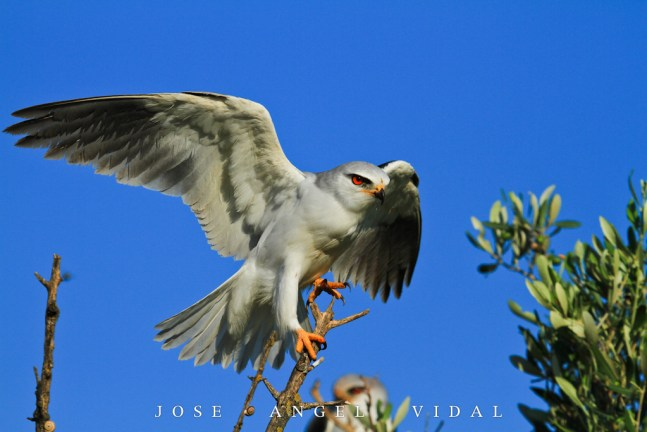 Elanio - black-shouldered kite