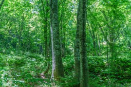 Trail of Beech forest