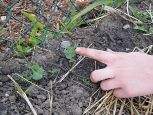 Pea growing in the garden