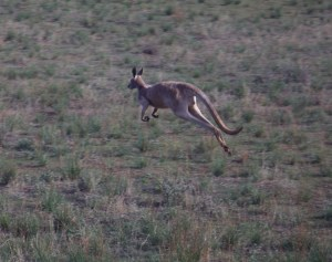 Red kangaroo. They can be grey, as it happens. But reds have a different head to the eastern (or western) greys