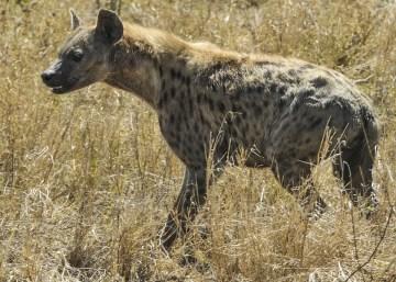 hyena-591880_960_720