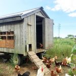 Keeping Chickens In Your Backyard Garden