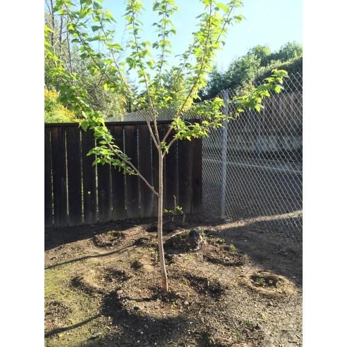 Medium Crop Of Dwarf Mulberry Tree
