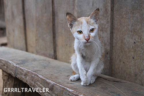 laos kitten