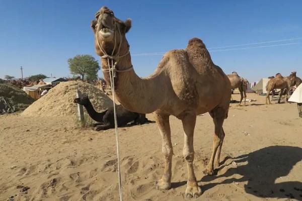 Pushkar Camels,pushkar camel fair, pushkar camel festival, camel fair pushkar, camel festival, camel fair india