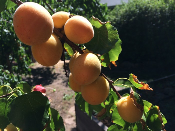 Apricots are ready to pick.