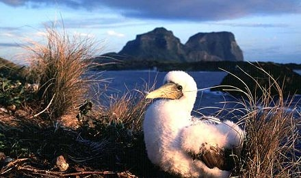 Masked Boobie lorde howe islands