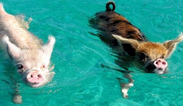 swimming pigs in Exuma Bahamas