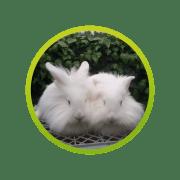 conejo-cabeza-de-leon