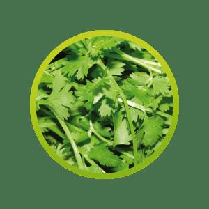 culandro-cilantro