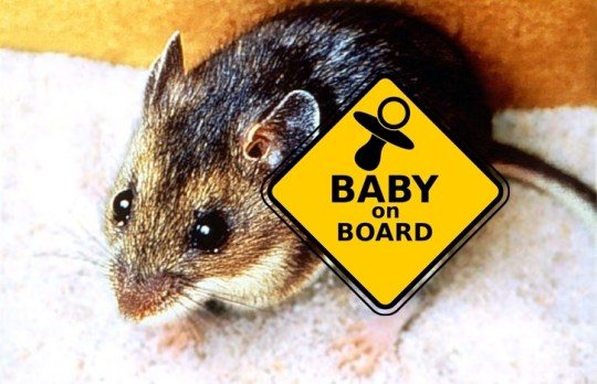 deer-mouse-baby-on-boardpd