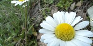 Gümüşhane/Torul Florası-1