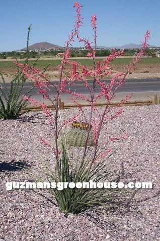 red-tip-yucca