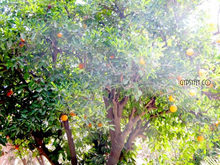 Orange Trees, Bahia Palace, Marrakech, Morocco