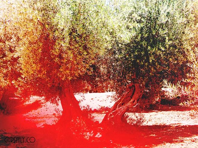 Olive Trees, Menara Gardens, Marrakech, Morocco