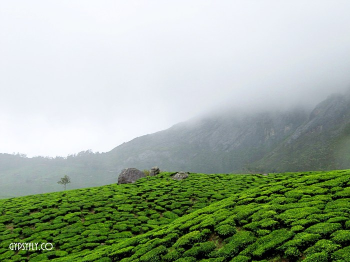 Tea Plantations, Munnar, Kerala