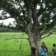 Oak Exploration at Nachusa