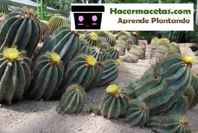 cactus en el jardin