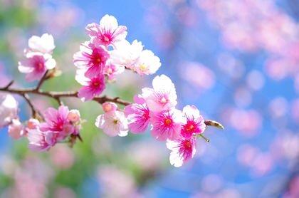 お花見デートで見る桜