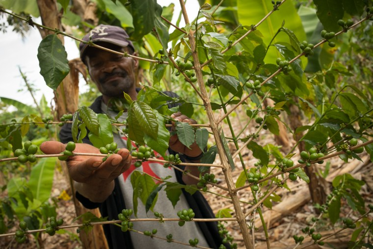 Jean Nelson examining his coffee beries, Bois Jolie, Haiti, Marc