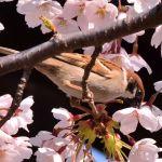 五稜郭公園・桜の花をついばむスズメ