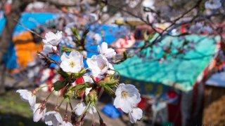 【2017/4/28撮影】函館公園で開花進むも、花の少なさ否めず