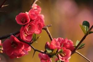 ボケ、Japanese quince