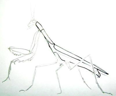 Рисунок -туловище богомола