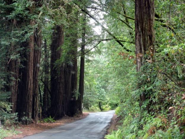 Redwoods along Coleman Valley Road