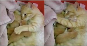 Wobbly Mom Cat Can`t Stop Cuddling Her Kitties, After She Found Safe Place For Them