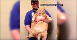 An Overweight Cat Gets His Permanent Family And An Incredible Transformation!