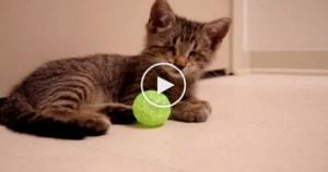 Blind Sweet Kitten Loves His New Toys… So adorable…..