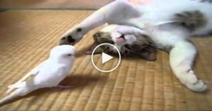 Cute Cat Loves to Play With White Parrot. So CUTE. You have To Watch It..