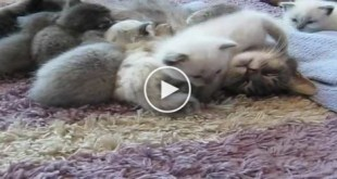 CUTE Tiny Kitten Kisses and Hugs Mommy. So SWEET.