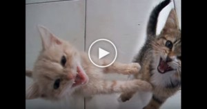Sweet Tiny Kittens Meowing Loudly, While Impatiently Waiting For Dinner. So CUTE