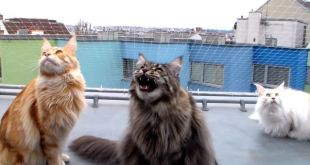 Adorable Maine Coons on Roof Watching and Talking to Birds