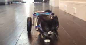 Paralyzed  Rescued Kitten Trying His First Wheelchair
