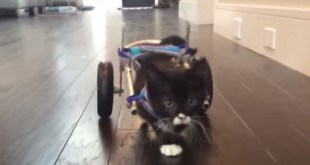 rsz_cassidy-miracle-kitten-first-steps