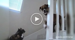 Dog , You Won't Pass ! LOL! Watch These Dogs Afraid Of Cats. Hilarious!