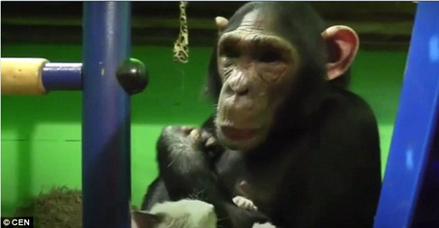 """Chimpanzee Adopts """" Ugly"""" Kitten, Rejected By Zoo Employees"""